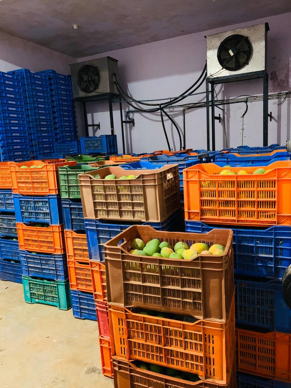 Mangoes inside a ripening chamber | By special arrangement