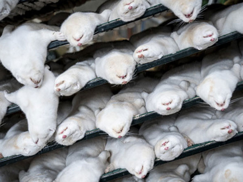 Denmark killed and buried 17 million mink, now the swollen carcasses are rising to the surface