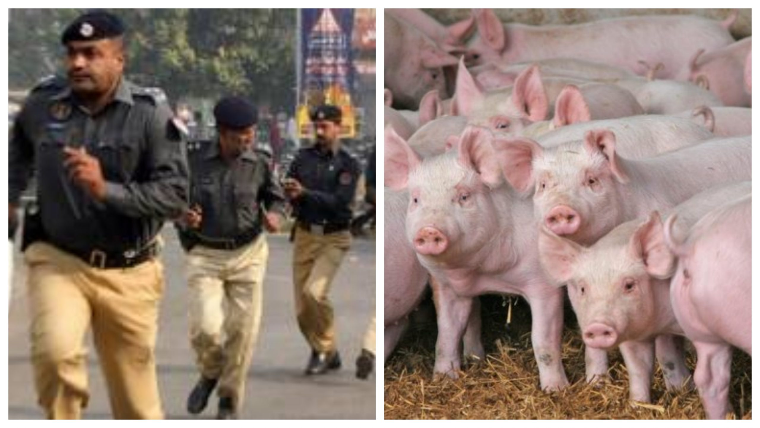 Pigs infiltrate into Pakistani police station, terrorise cops