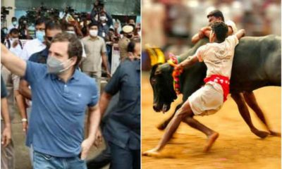 Rahul Gandhi the firangi lord has now permitted Tamil people to continue Jallikattu