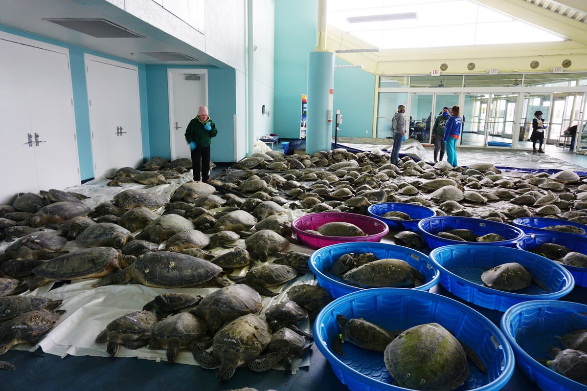 Thousands of 'cold-stunned' turtles rescued off coast of Texas amid US winter storm