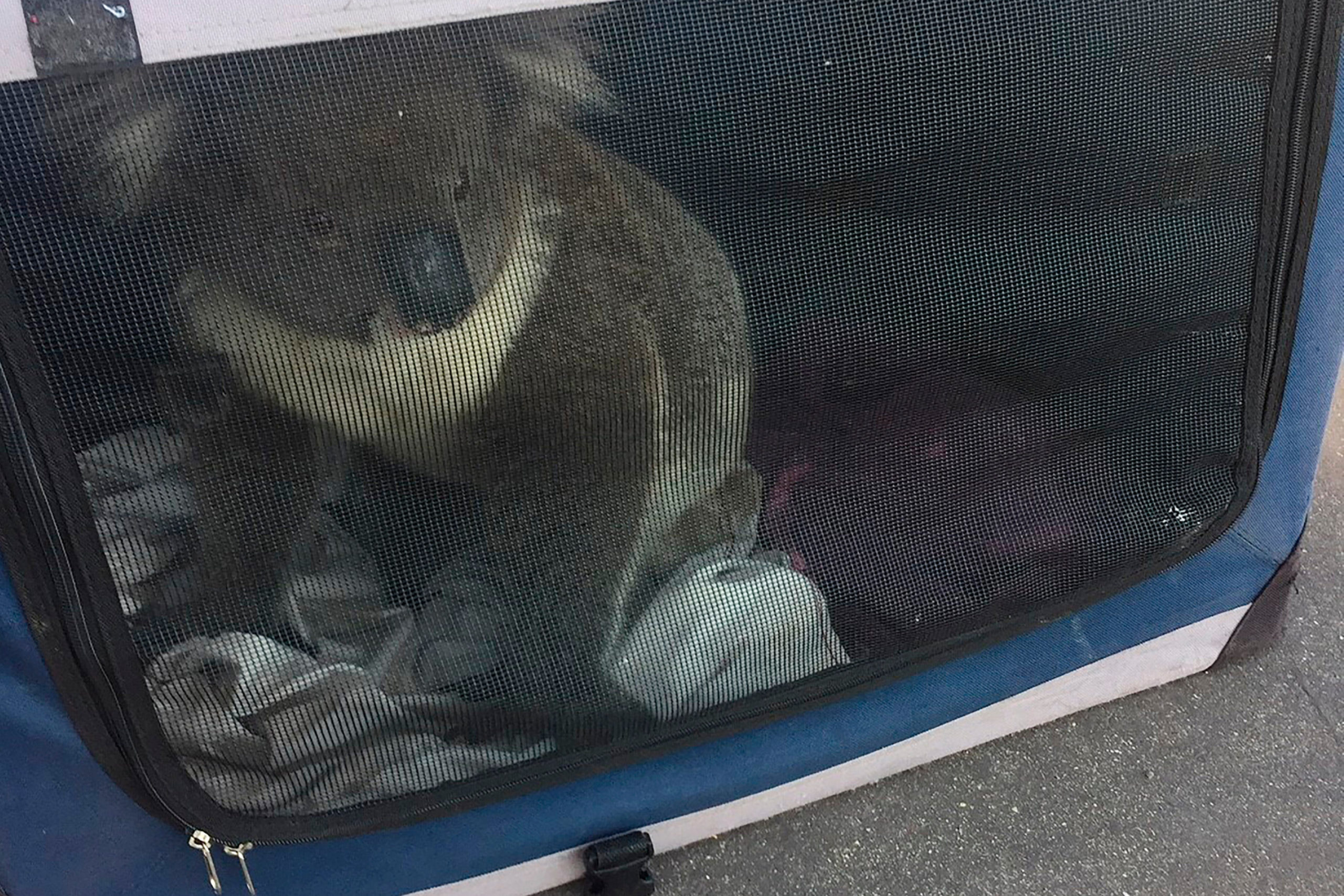 <p>The Koala was placed in a soft cage</p>