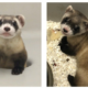 Two photos of Elizabeth Ann, the first cloned black-footed ferret.