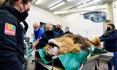 A roar deal? Lion has vasectomy after fathering five cubs in one year