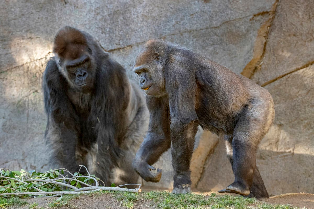 Apes receive Covid-19 vaccine after outbreak at San Diego Zoo