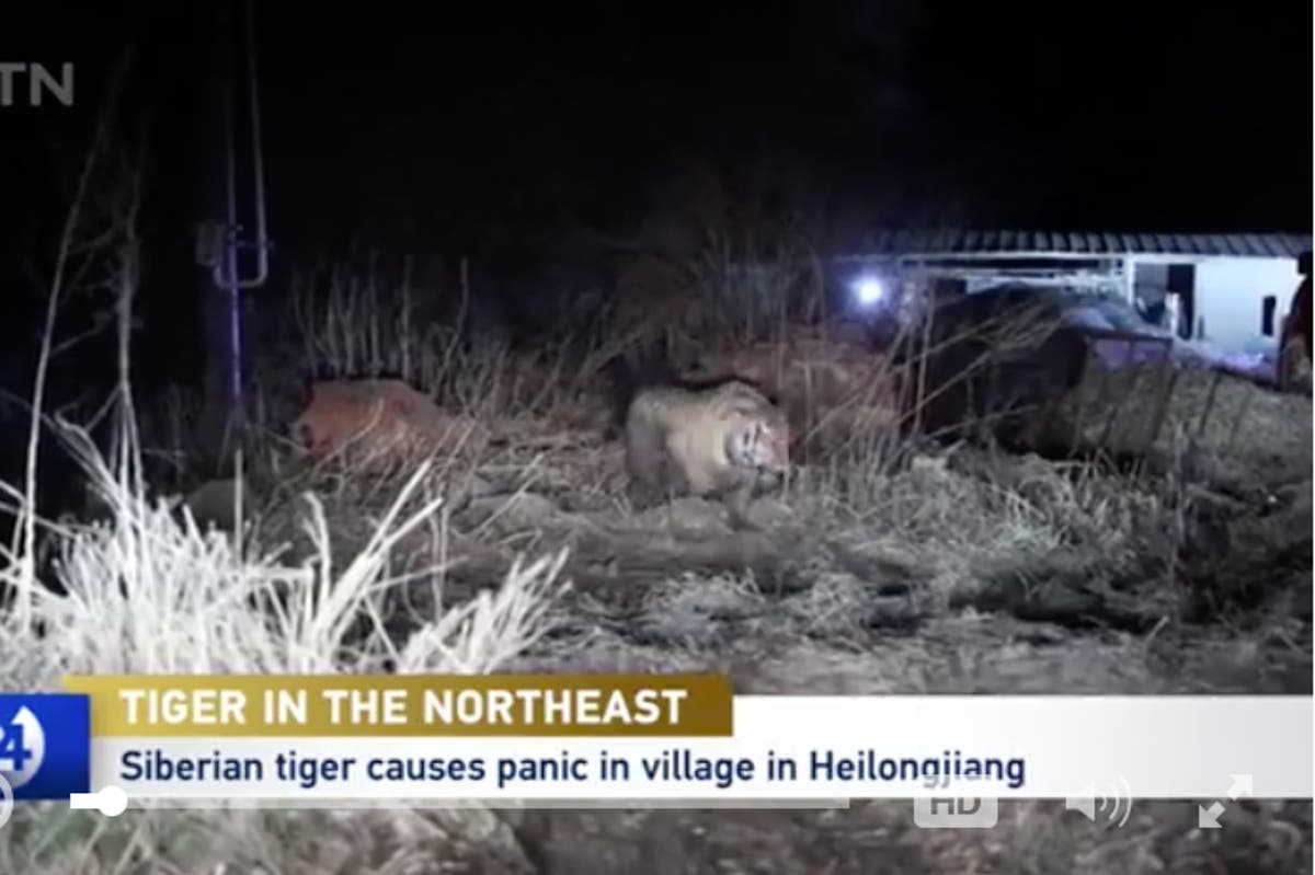 Endangered tiger that attacked villagers in northeast China captured