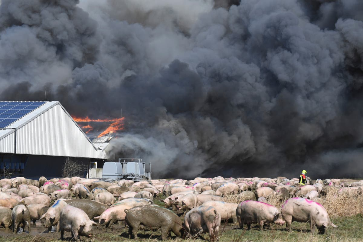 Fire at German pig breeding facility kills more than 55,000 animals