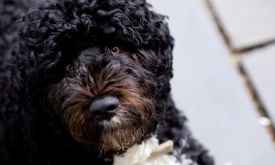 Obamas left devastated after beloved dog Bo dies from cancer