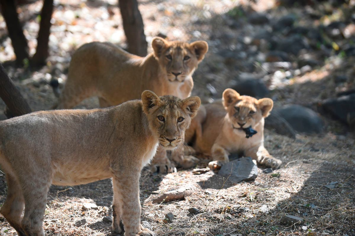 South Africa to end captive lion breeding for cub petting