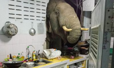 Elephant in the room: Animal crashes into Thai kitchen